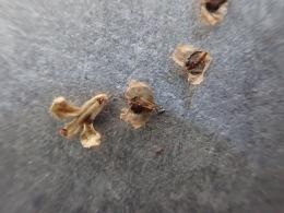 Aspen seeds